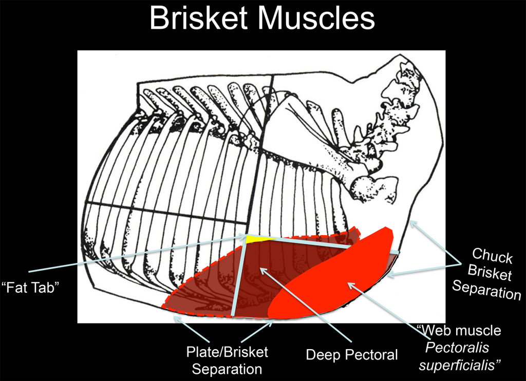 Skeletal Diagram of a Beef forequarter showing where the brisket is located.